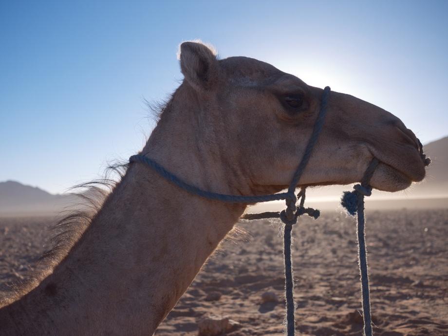 Camel Trekking in the Sahara from Kiwi and Peach