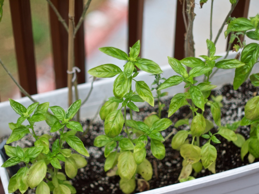Pruning Your Basil
