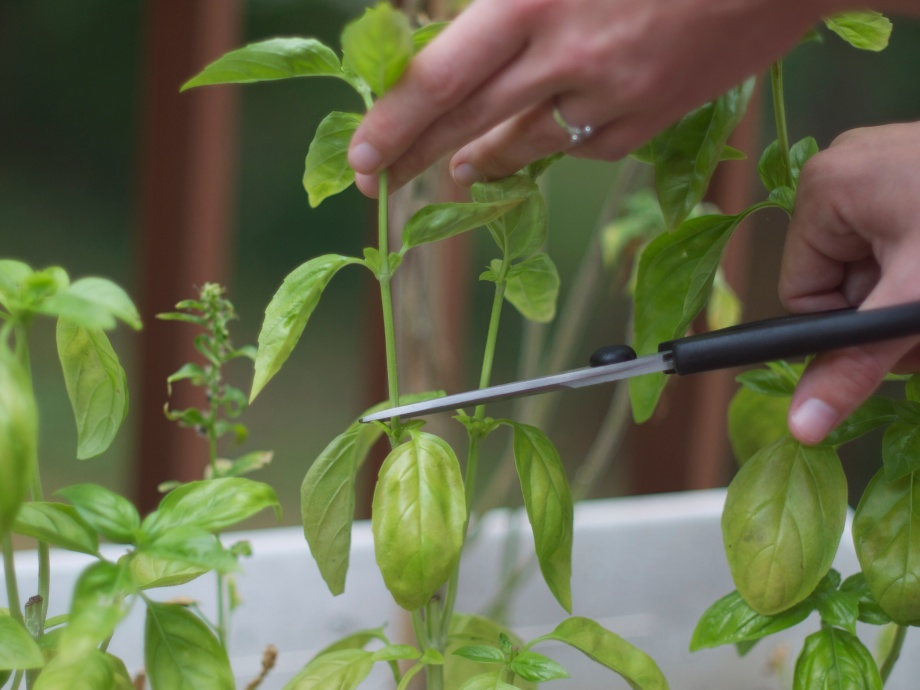 How to Prune Basil from Kiwi and Peach